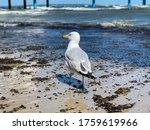 White Seagull Walking On A...