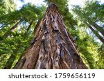 Giant Redwood Trees at Big Basin National Park - stock photo