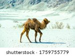 Small photo of Little cute camel walking alone. Little camel view