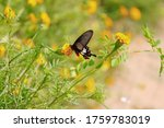 A Swallowtail Butterfly  Black...