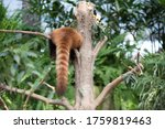 Sleeping Red Panda On The Tree