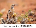 spike heeled lark calling from... | Shutterstock . vector #175984076