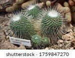 Mammillaria Spinnosisima ...