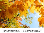 Small photo of Golden autumn maple leaves view. Autumn maple leafs background. Autumn maple leaves. Maples leaves in autumn