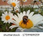 A Beautiful Striped Beetle Sits ...