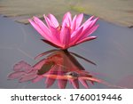 Aquatic Pink Water Lily From...