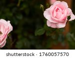 Pink Wild Rose In The Garden....