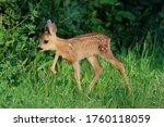 European Roe Deer Fawn ...
