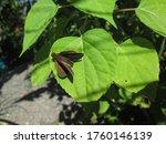 Brown Butterfly On Leaf Baskin...