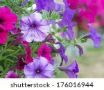Cluster Of Purple Petunias...