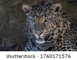 Portrait Of A Spotted Leopard.  ...
