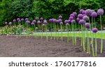 Giant Onion  Allium Giganteum ...
