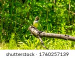 The great crested flycatcher ...