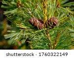 Two Pine Cedar Cone On A Green...