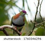 Superb Fruit Dove  Ptilinopus...