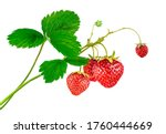 Strawberry Plant With Leaves...