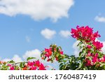 Bougainvillea Spectabilis On...