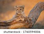 Baby Cheetah With Big Eyes...