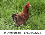 One Red Chicken In Tall Green...