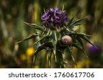 Milk Thistle With Lilac Flower...