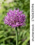 Purple Wild Garlic Flower Close ...