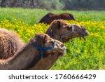 Closeup Pair Of Camel Graze On...