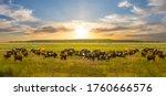 Cow Herd Graze On A Green Rural ...