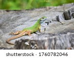 Small photo of European green lizard (Lacerta viridis) sunbathing in the morning