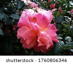 Pink Blooming Roses After Rain. ...