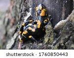 Closeup Of  Fire Salamander In...
