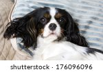 cute cavalier spaniel lying on... | Shutterstock . vector #176096096