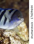 Small photo of indo-pacific sergeant (abudefduf vaigiensis)