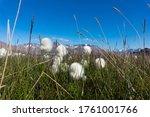 Cotton Grass In Longyearbyen On ...