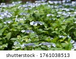 Small photo of The name of these flowers is H. m. f. normalis. Scientific name is Hydrangea macrophylla.