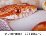 A Great Corn Snake Eating A...
