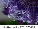 Blue Passion Flower In The...