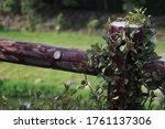 Vines Climbing On The Pillar