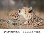 Mother And Baby Cheetah Lying...