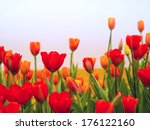 red and yellow tulip | Shutterstock . vector #176122160