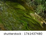 Seaweed In The River In Summer