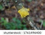 Yellow Tremella Mesenterica ...