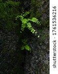 Small photo of Close up of Bush Maidenhair Fern or Common Maidenhair Fern (Adiantum aethiopicum