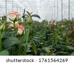 Perspective View Of Greenhouse...