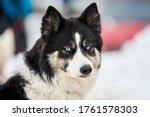 Husky Sled Dog Face  Winter...