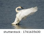 Trumpeter Swan Beating Its...