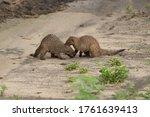 Banded Mongoose Mungos Mungo...