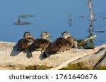 Three Baby Wood Ducks Resting...
