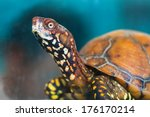 Small photo of An African Pancake Tortoise perks up and gives full attention