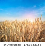 Golden Wheat Field In Summer...