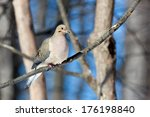 A Mourning Dove Rests On A...
